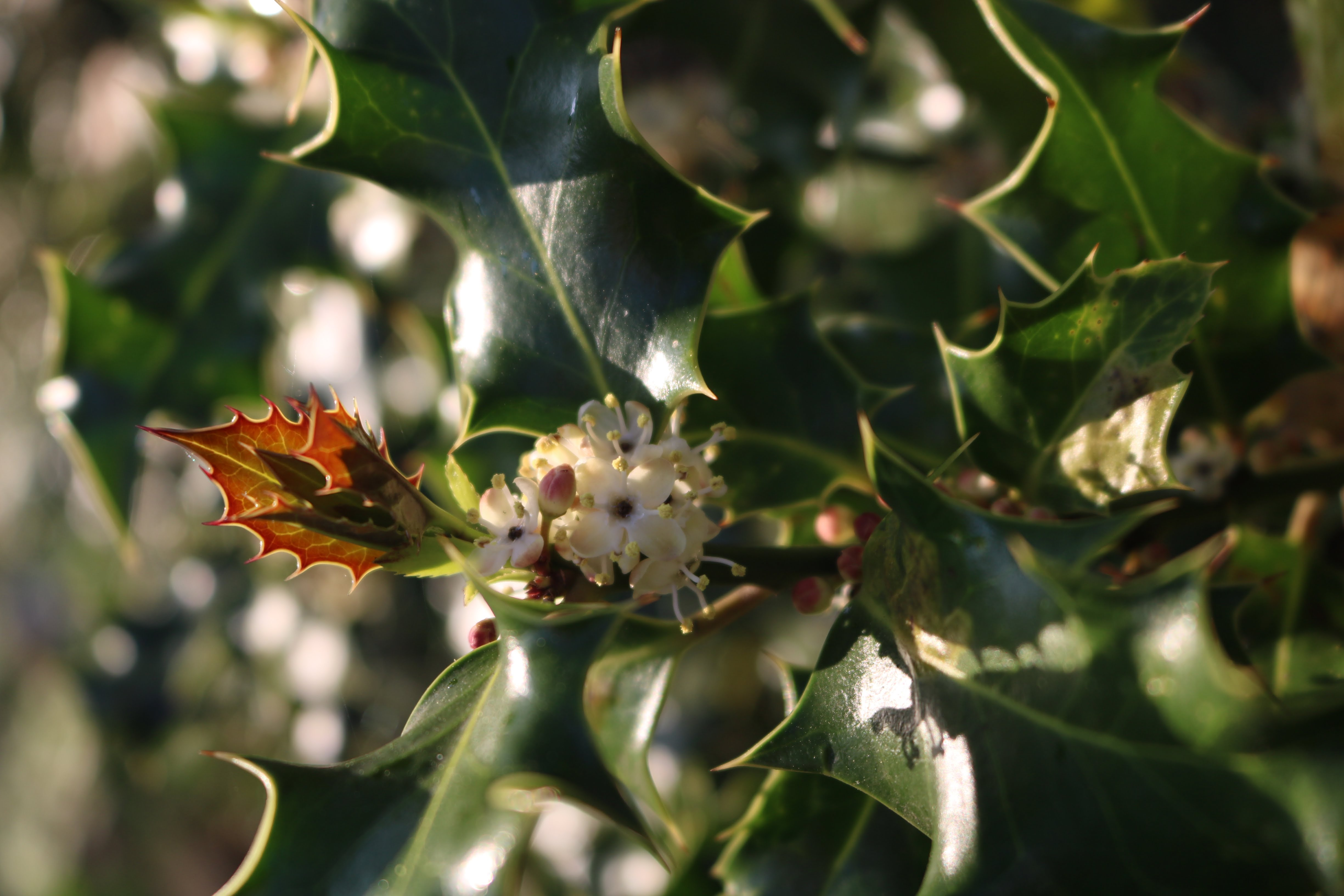 Small white flowers of Holly (Ilex aquifolium) amid the prickly, glossy leaves in bright sunlight