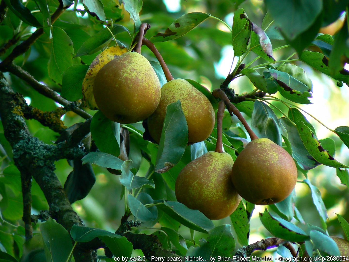 Small Perry pear group of 5 growing on tree