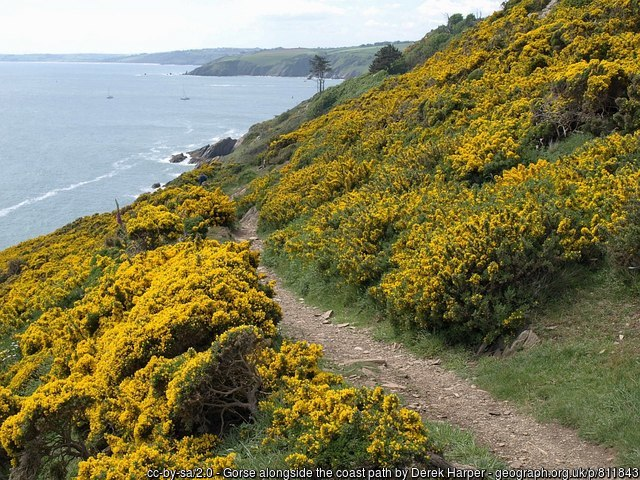 Sea of yellow Gorse flowers on either side of coastal path looking down to sea