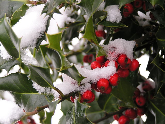 Snow on holly leaves and berries