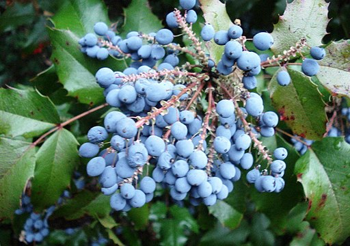 Fruits seen from above of Mahonia aquifolium, Oregon grape