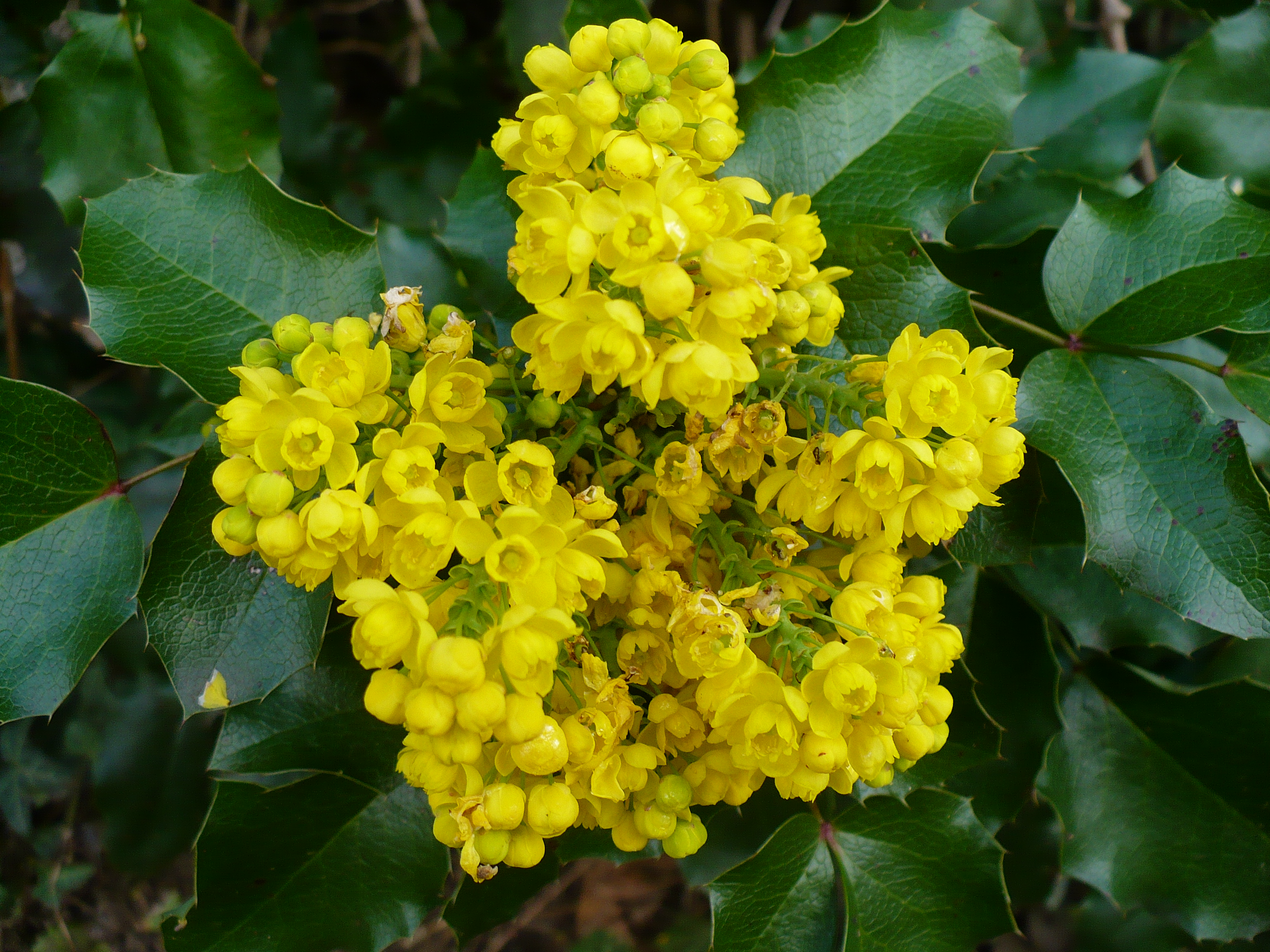 Clusters of small yellow flowers of the Oregon grape surrounded by its Holly-like leaves (Mahonia aquifolium)