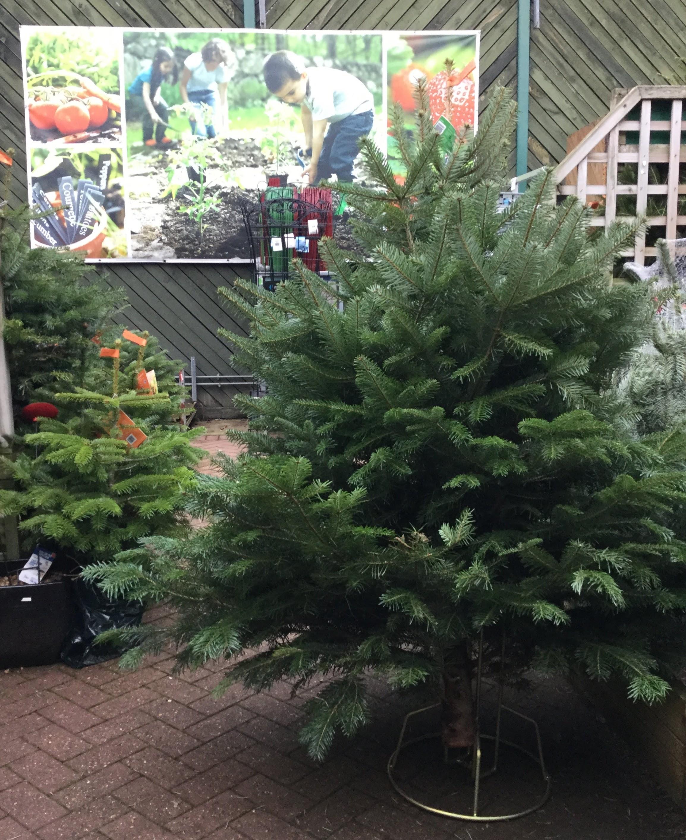 Nordmann Fir Christmas tree standing in garden centre