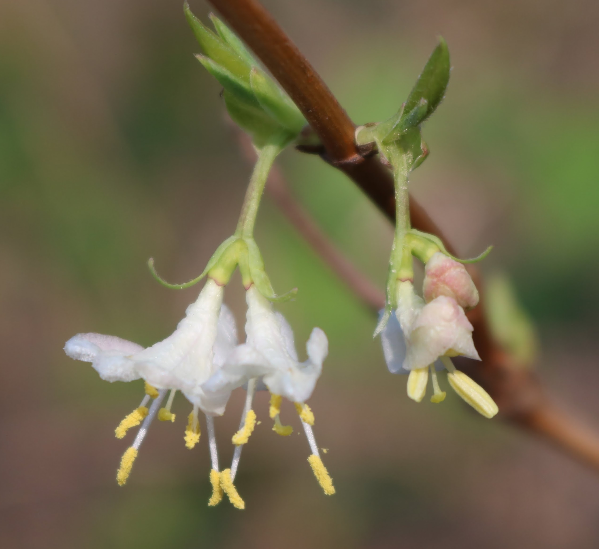 Close-up of white flowers of Winter Honeysuckle, Lonicera fragrantissima