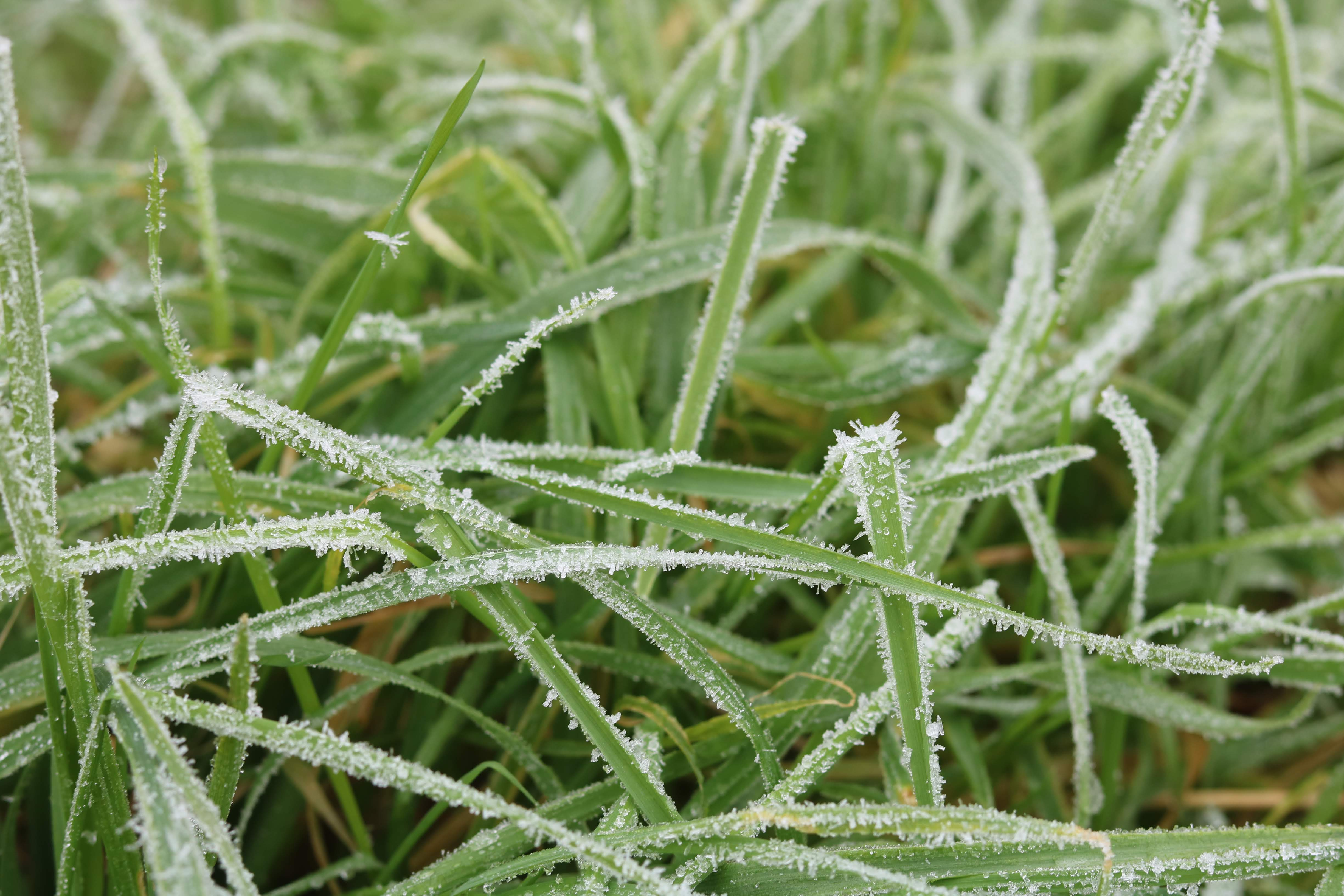 Frost crystals on grass leaf blades