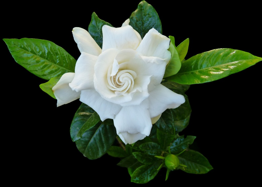 White Gardenia flower with bud and glossy green leaves
