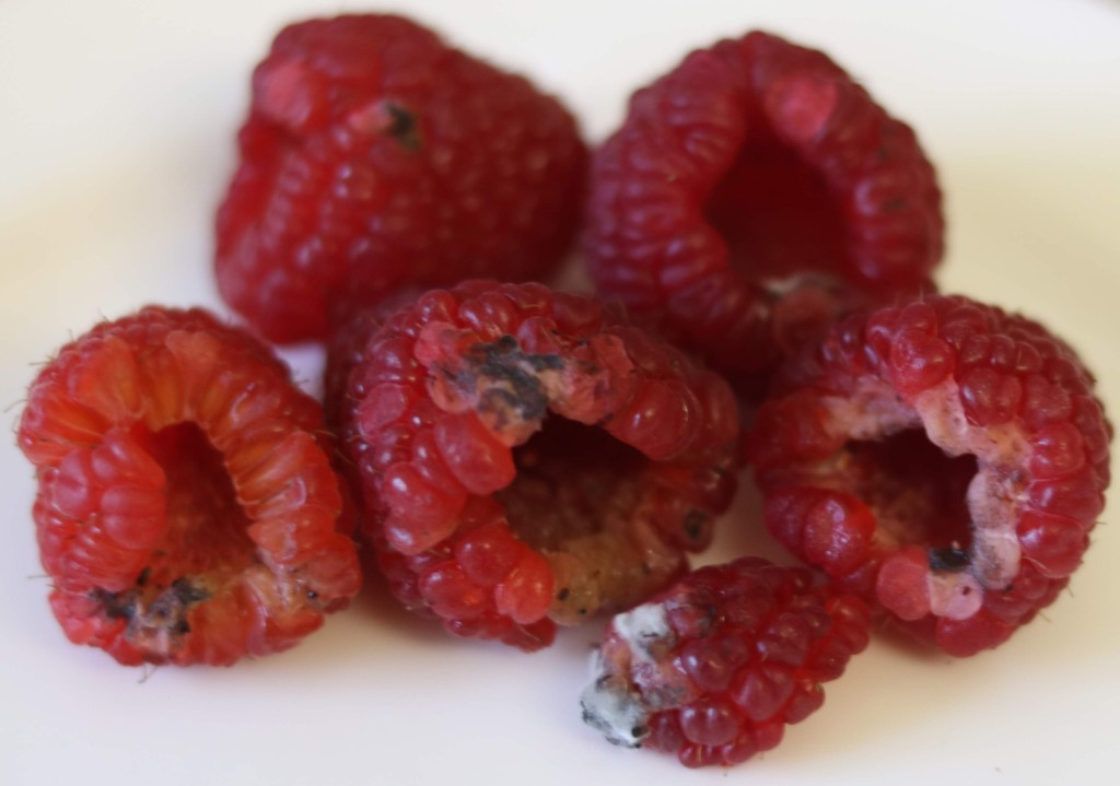 Rubus idaeus, Raspberries succumb easily to mould as the fruit bruises easily