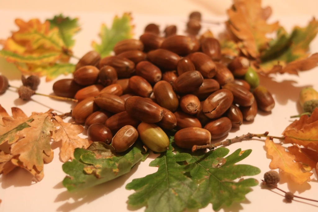 Pile of acorns with oak leaves and empty acorn cups