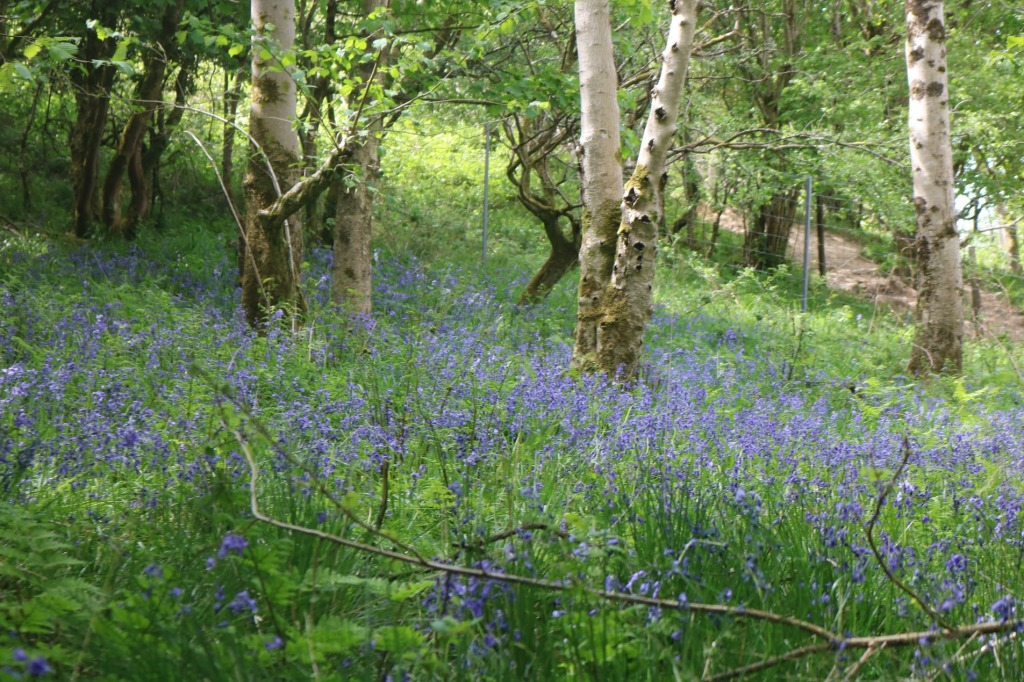 Bluebells at Cheddar Gorge