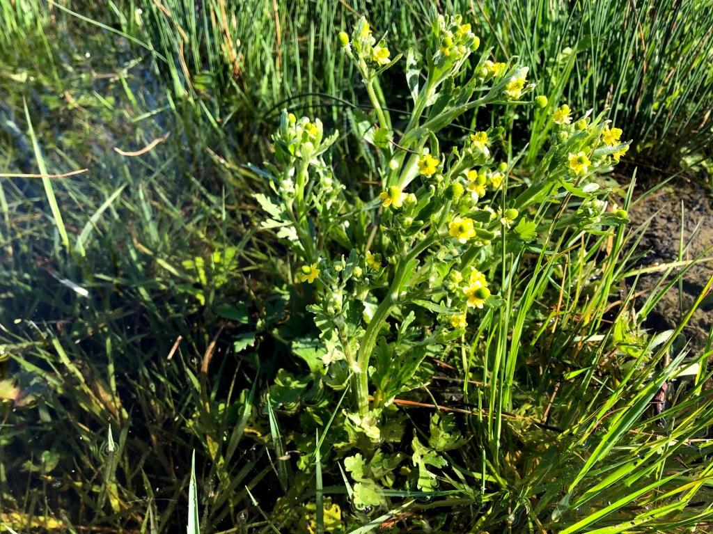 Celery-leaved Buttercup, Ranunculus sceleratus