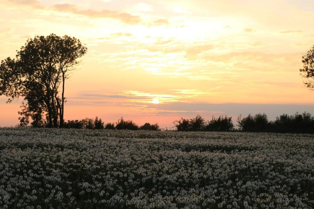Somerset field of Dandelion clocks during COVID-19 lockdown at sunset
