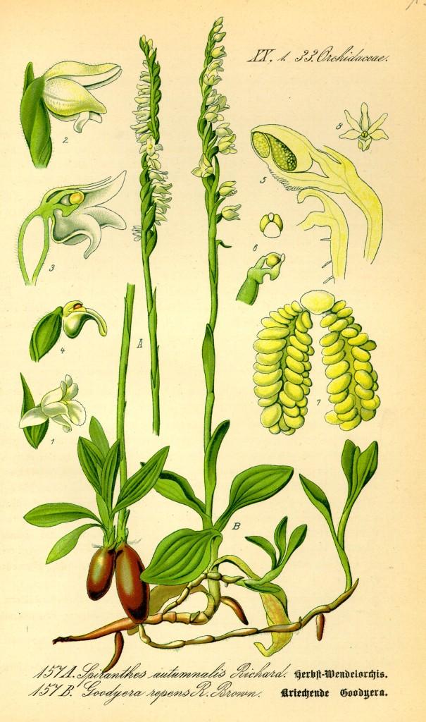 Public Domain: Prof. Dr. Otto Wilhelm Thomé Flora von Deutschland, Österreich und der Schweiz 1885, Gera, Germany