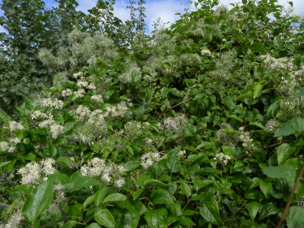 White flowers and feathery seedheads of Old Man's Beard (Clematis vitalba) sprawling over a hedge in late August 2020. The seeds are dispersed by wind.
