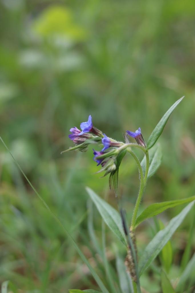 Purple Gromwell, Aegonychon purpureocaeruleum