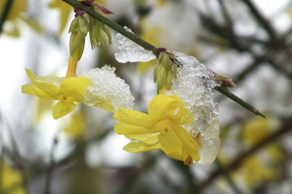 Yellow Winter Jasmine flowers weighted with melting ice CC Pixabay