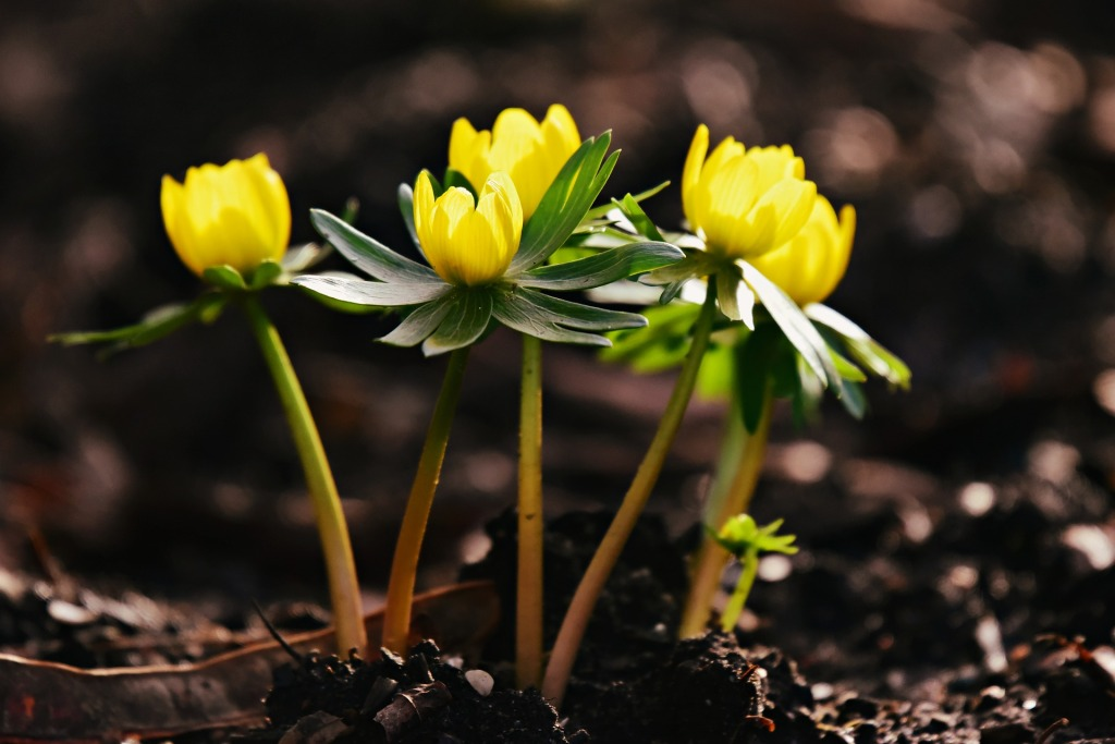 Sturdy stems of Winter Aconite, Eranthis hyemalis pop out of the soil